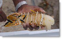 Placencia Lobster