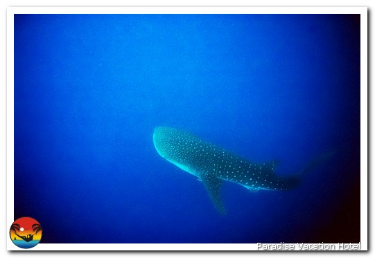 Whale Shark seen on dive trip out of Placencia, Belize by Alan Stamm