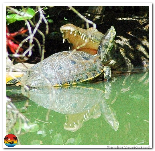 Crocodile and Turtle by Ron Spilman